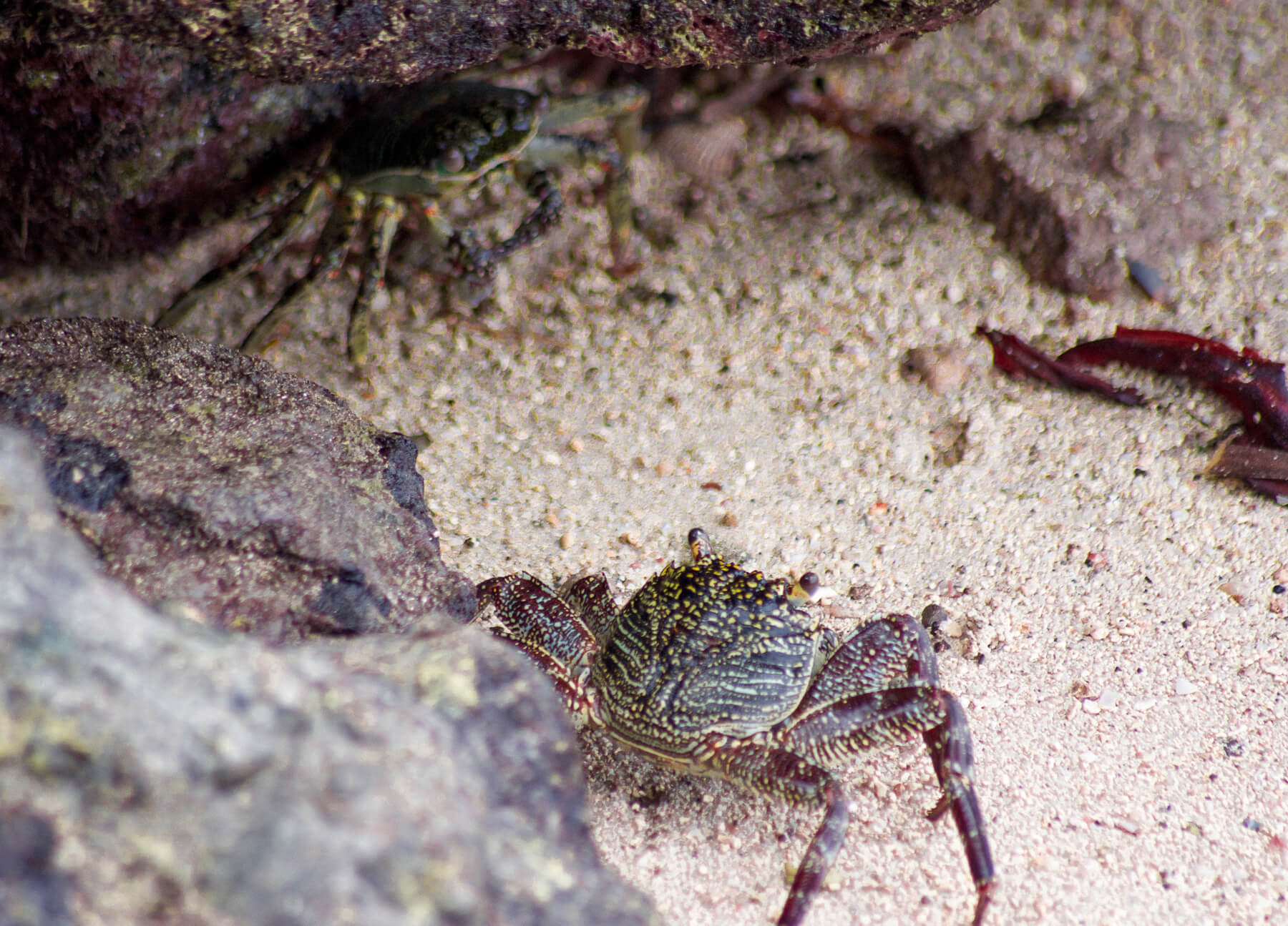 2 spotty crabs hiding under a rock on the beach