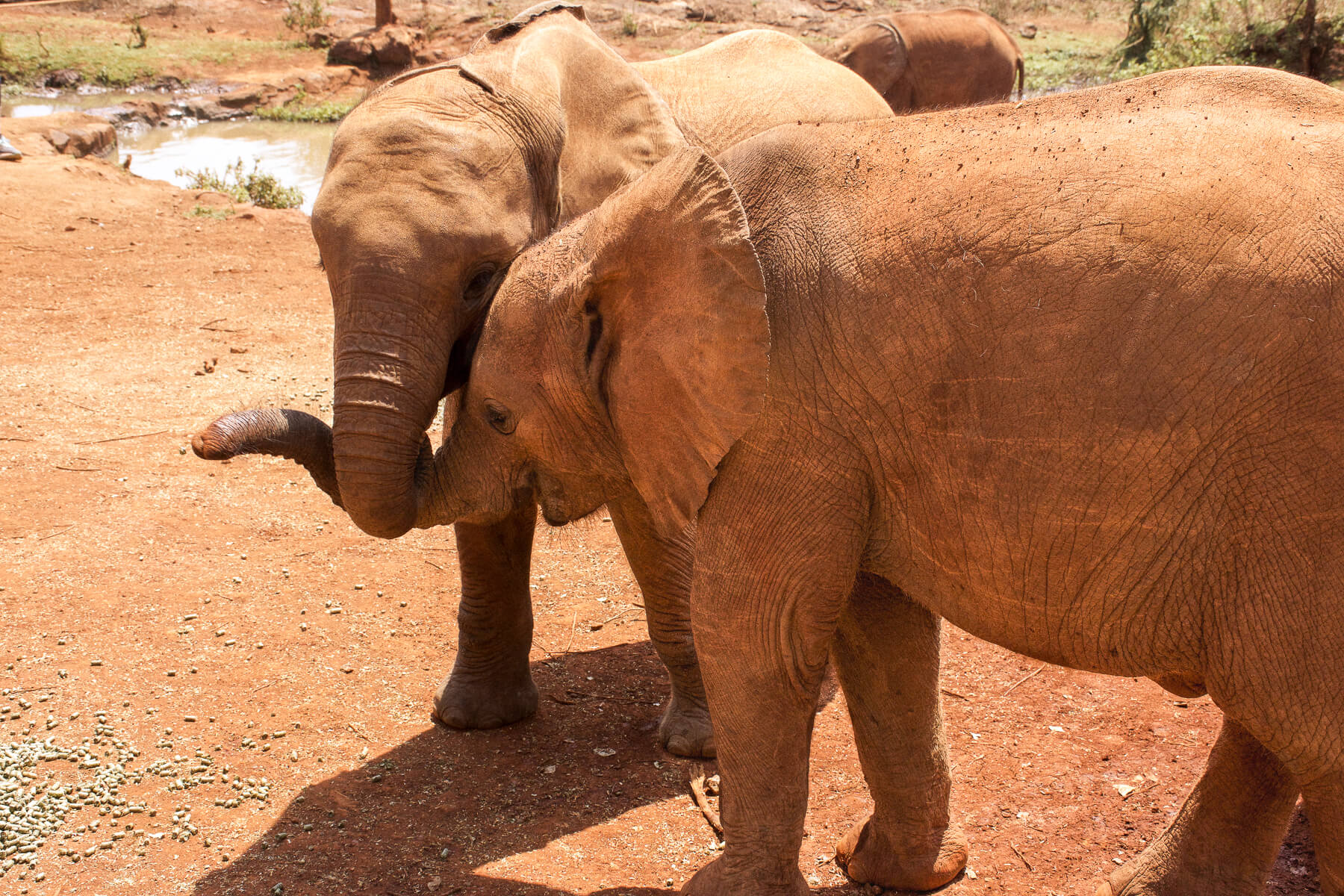 2 baby elephants standing next to each other with intertwined trunks