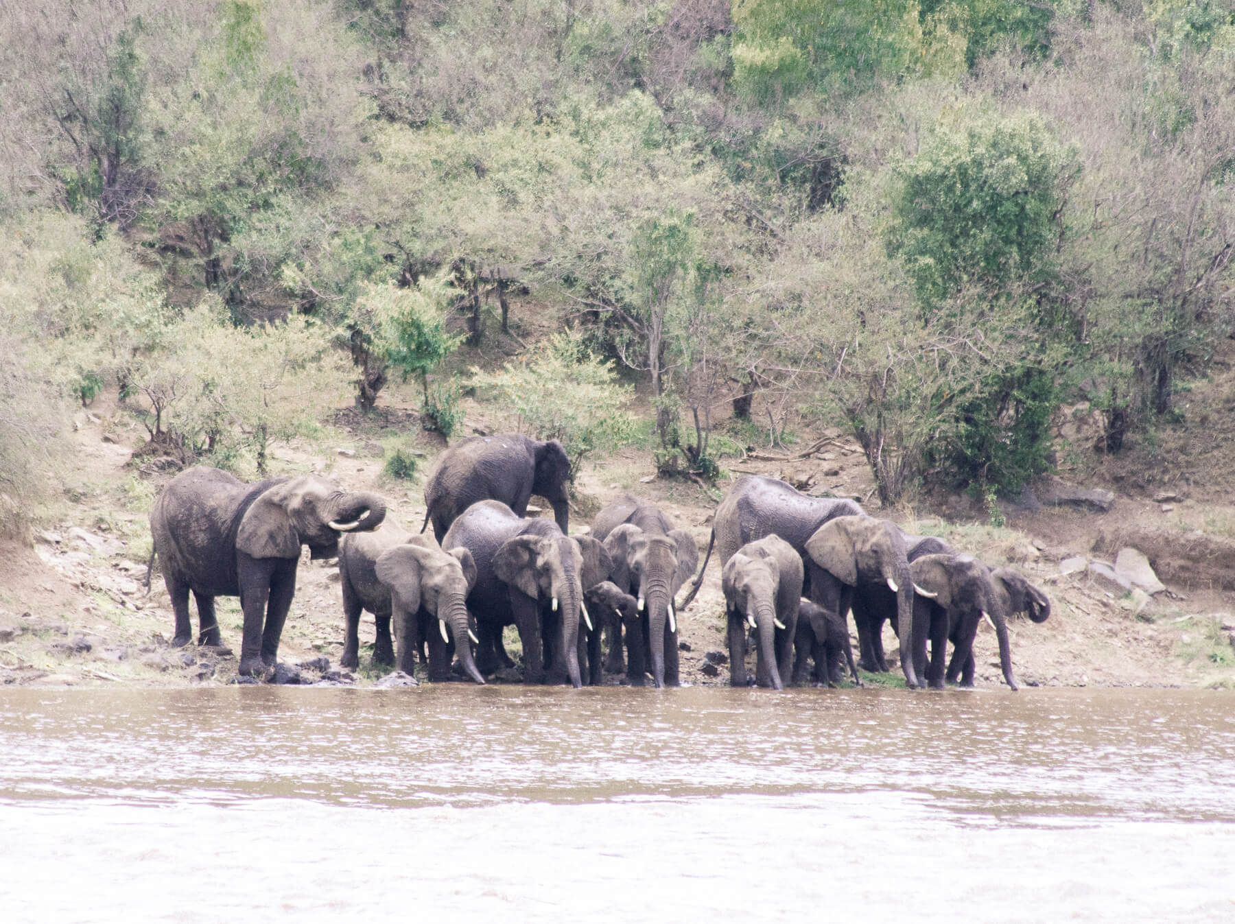 A huge herd of 11 African elephants drinking on the banks of the Mara River