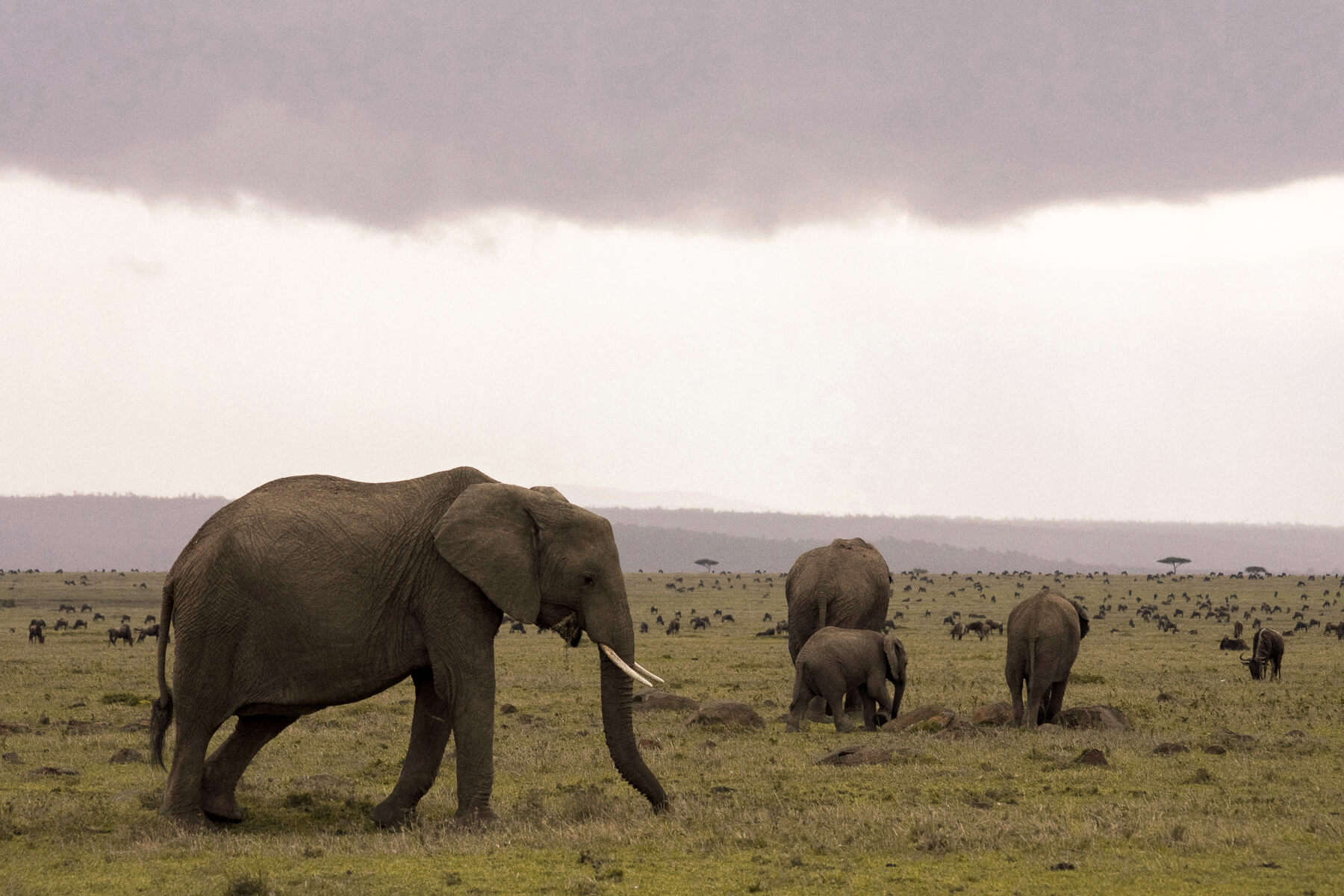 An elephant herd in front of thousands of Wildebeest before the rain
