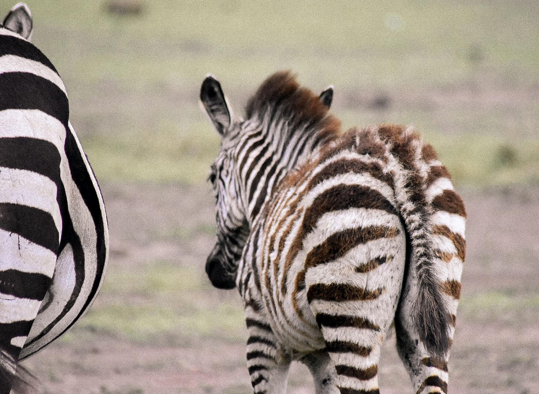 A fluffy baby zebra walking away from the camera in the Maasai Mara