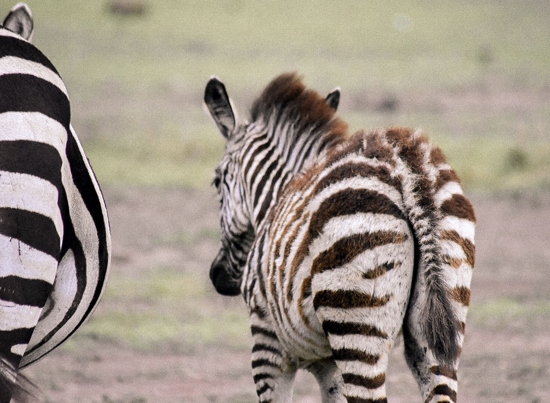 A fluffy baby zebra walking away from the camera in the Maasai Mara
