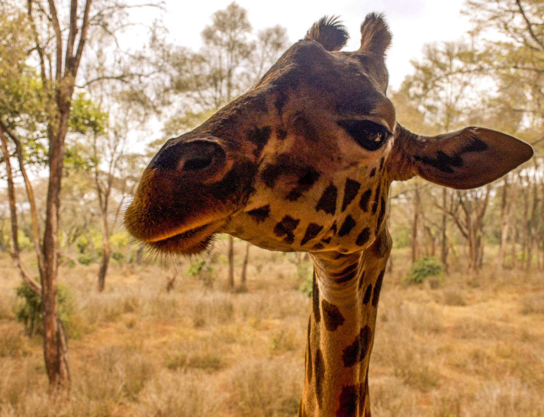 Close up of the head of a Giraffe