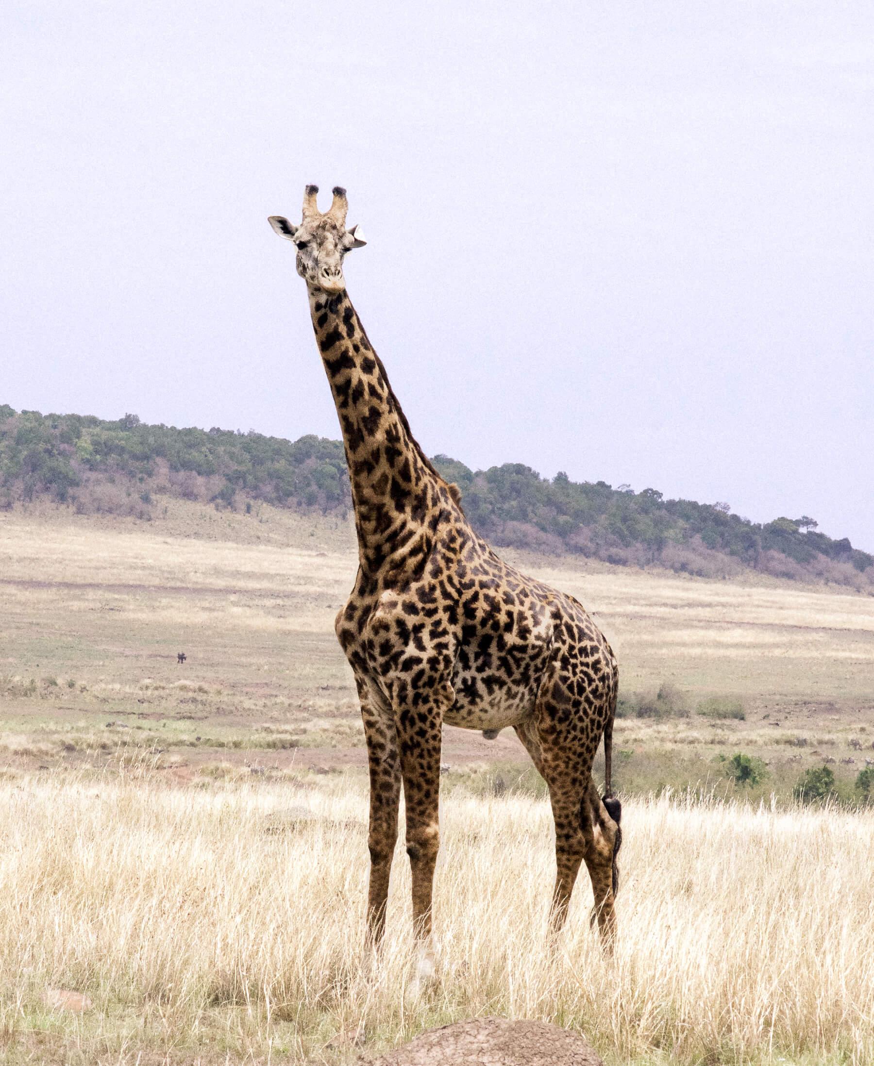 A male Masai Giraffe standing in the open plains of the Maasai Mara