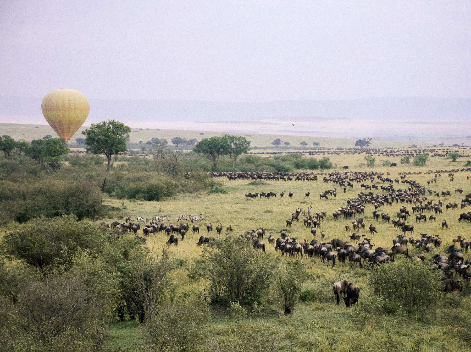 View of the great wildebeest migration from a hot airballoon, with another yellow hot air balloon disappearing into the tree line low above the wildebeest (Balloon safari maasai mara)