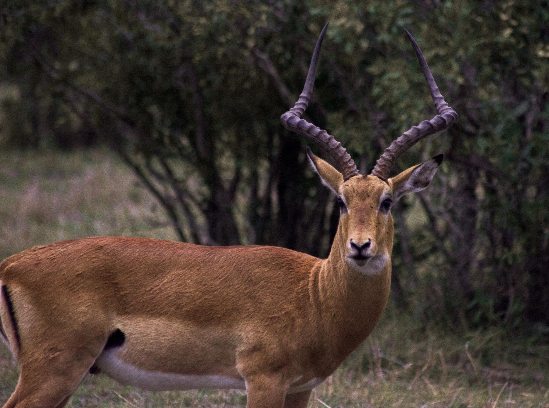 A male Impala looking at the camera with big horns