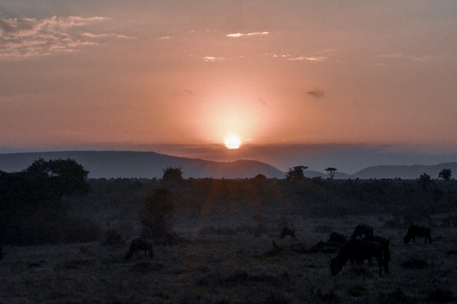 A pink sunrise in the Maasai Mara with wildebeest grazing in the foreground