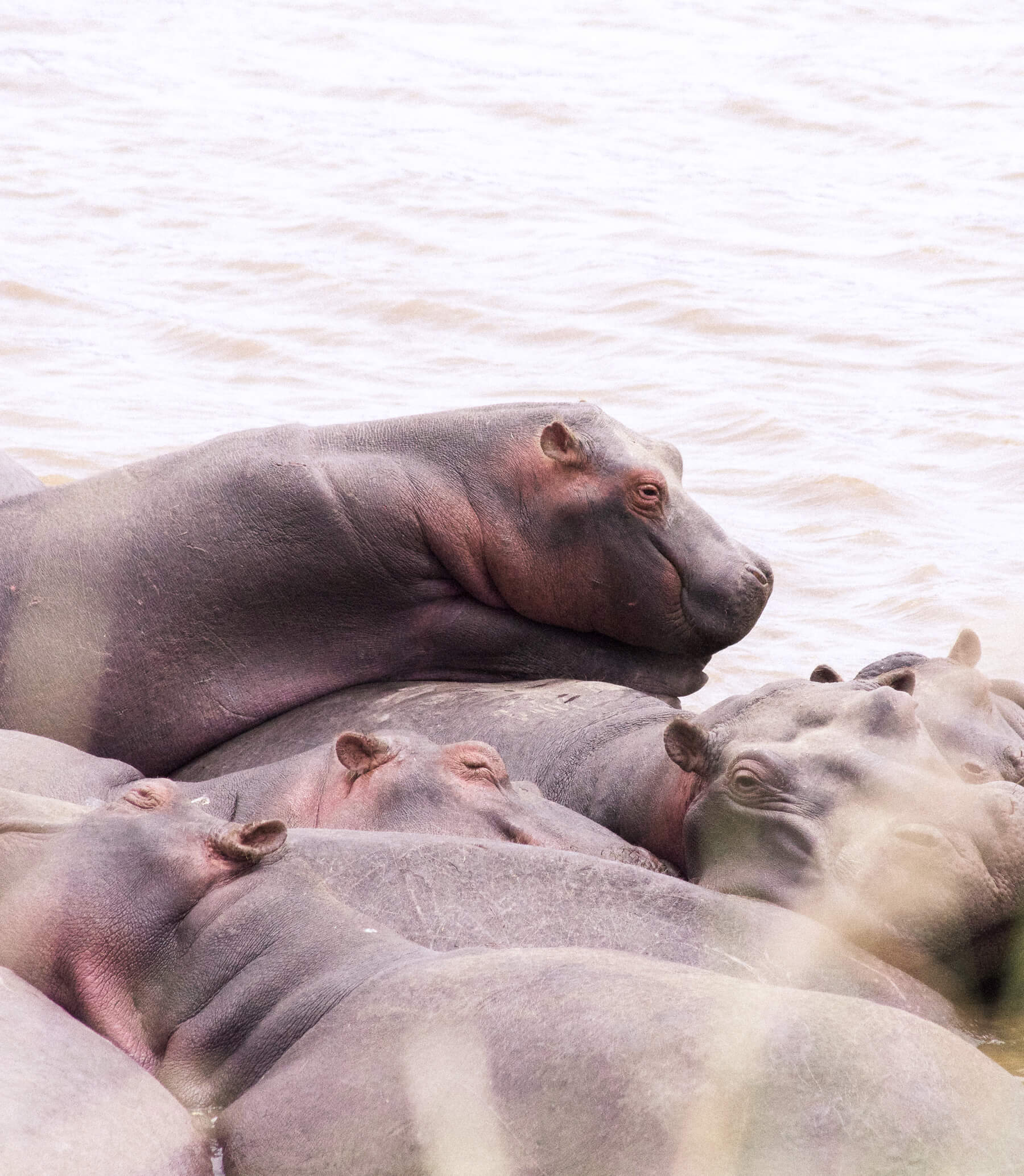 A group of hippo sleeping in the Mara River, with one sleeping on top of the others