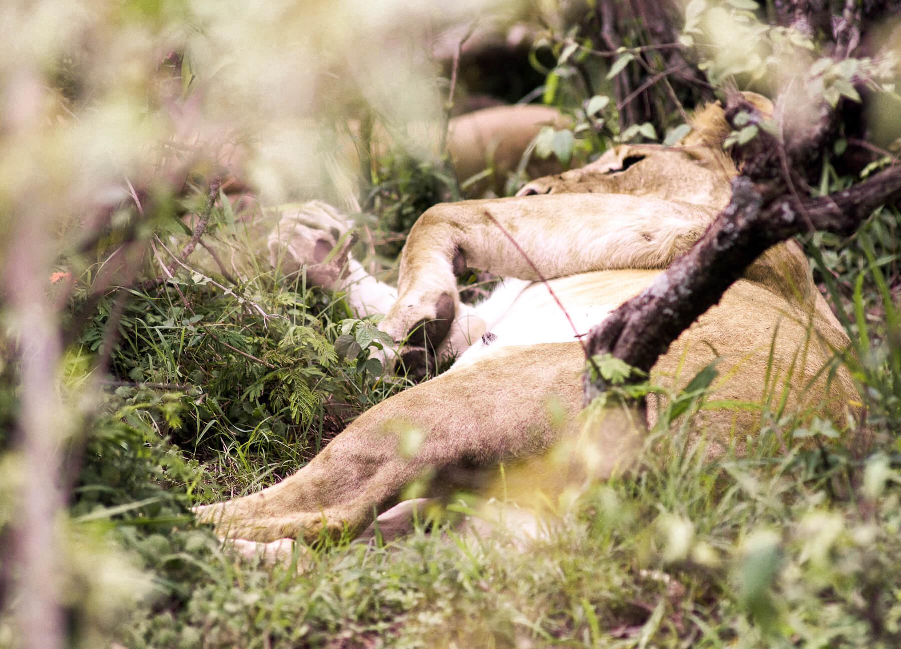 A lioness sleeping on her side in the bushes