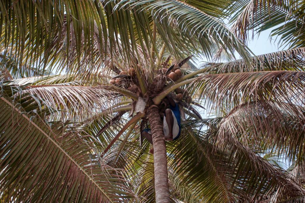 A man a the top of a palm tree cutting down a coconut