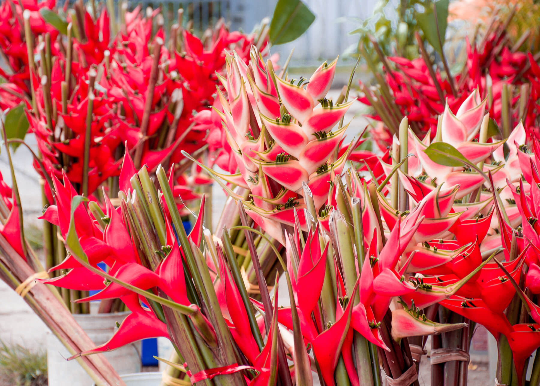 Bright red leaves from flowers at the Port Vila flower market