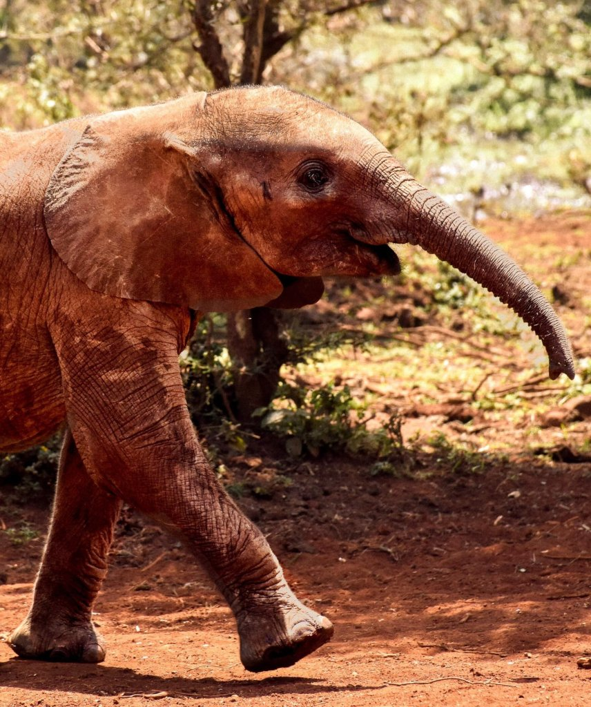 A baby African elephant running for its food in the red dirt