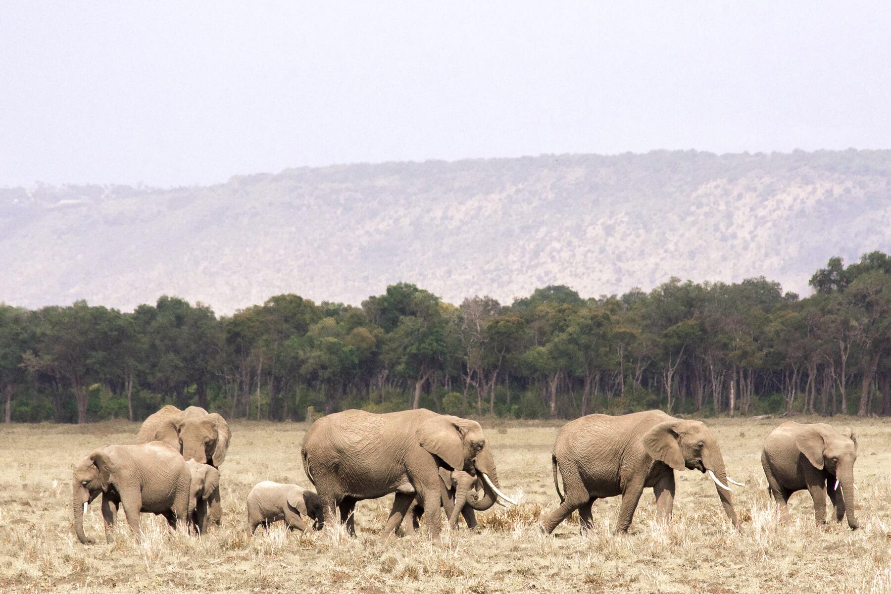 A big herd of 8 elephants walking along the plains of the Maasai Mara
