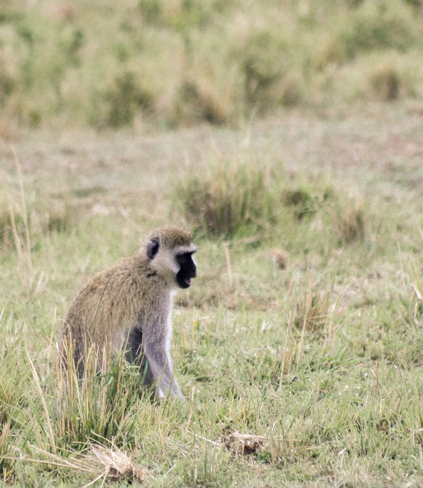 A small grey Vervet Monkey sitting in the grass