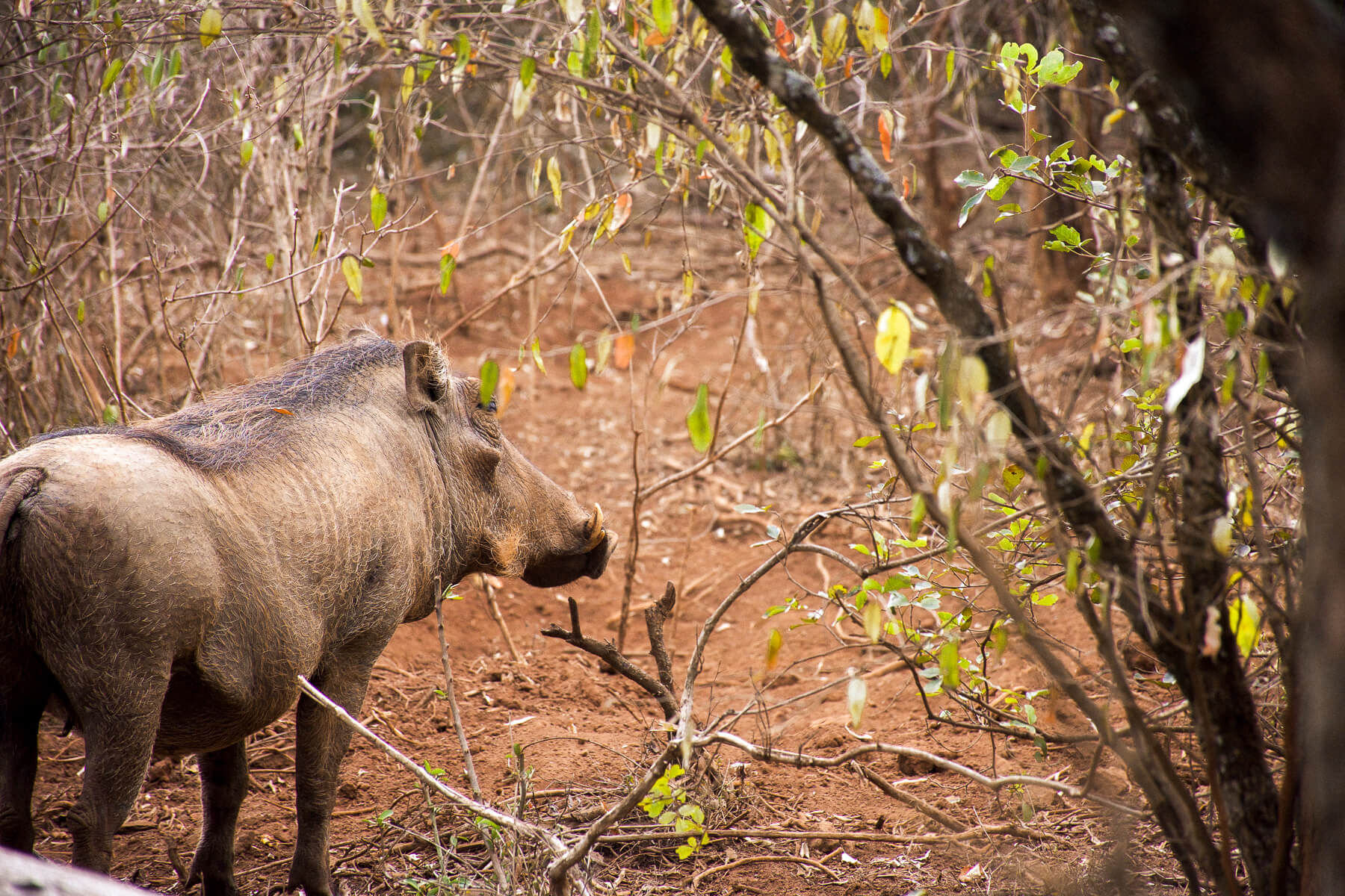 A warthog standing underneath some spindly trees in the red dirt