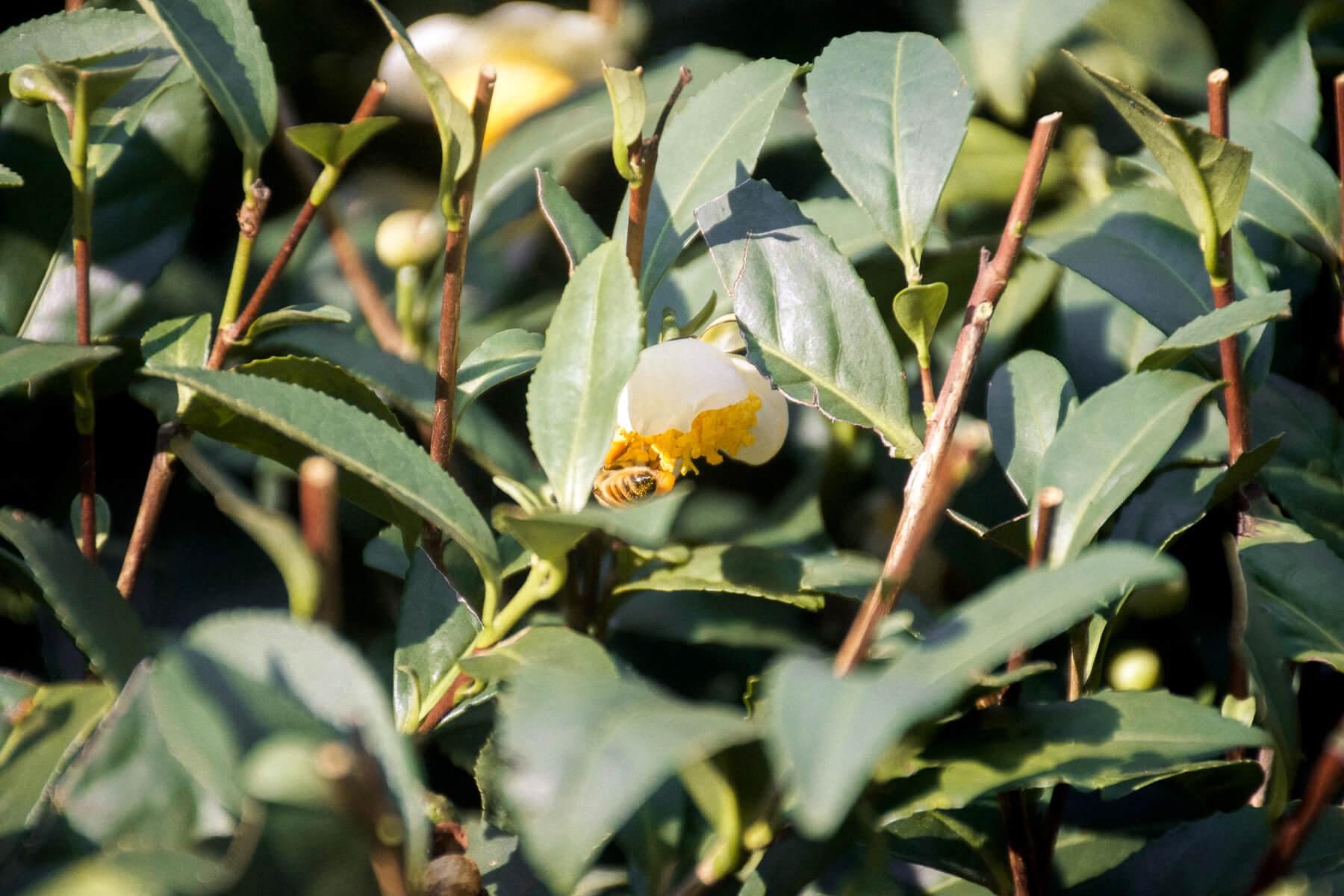 Close up of a bee eating pollen on a tea bush