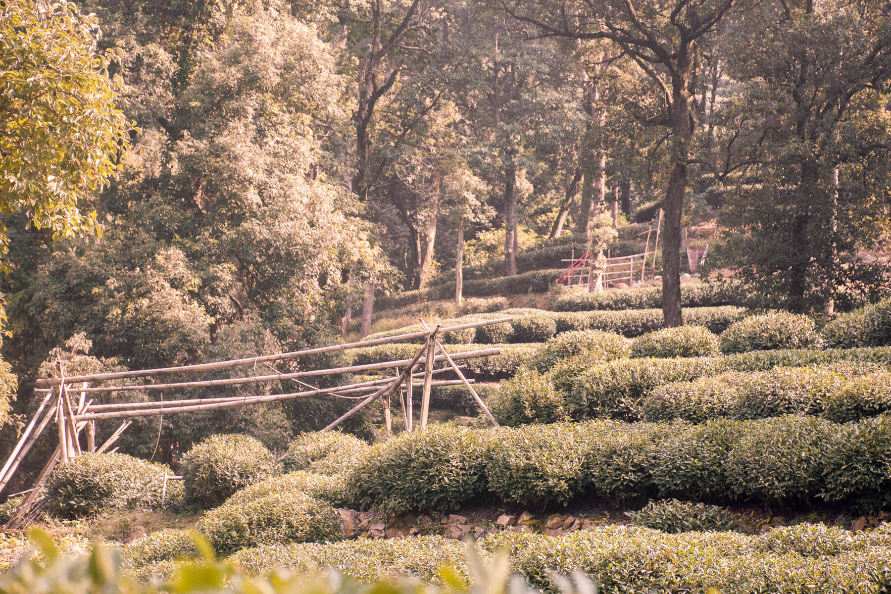 Tea Plantations and bamboo structures in the tea capital of China - Hangzhou