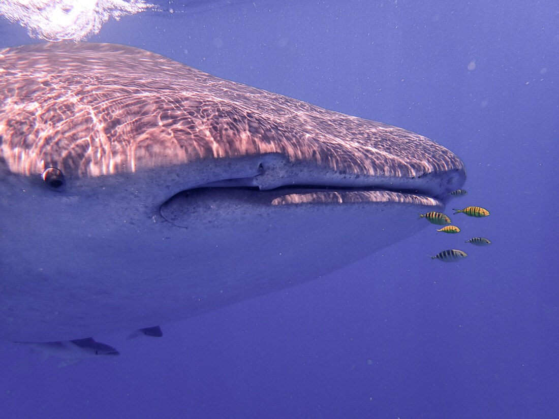 Face of a Whale Shark with yellow Pilot Fish in front