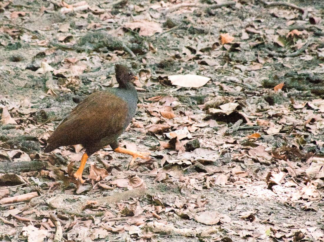 Small Rainforest bird in the Daintree Rainforest