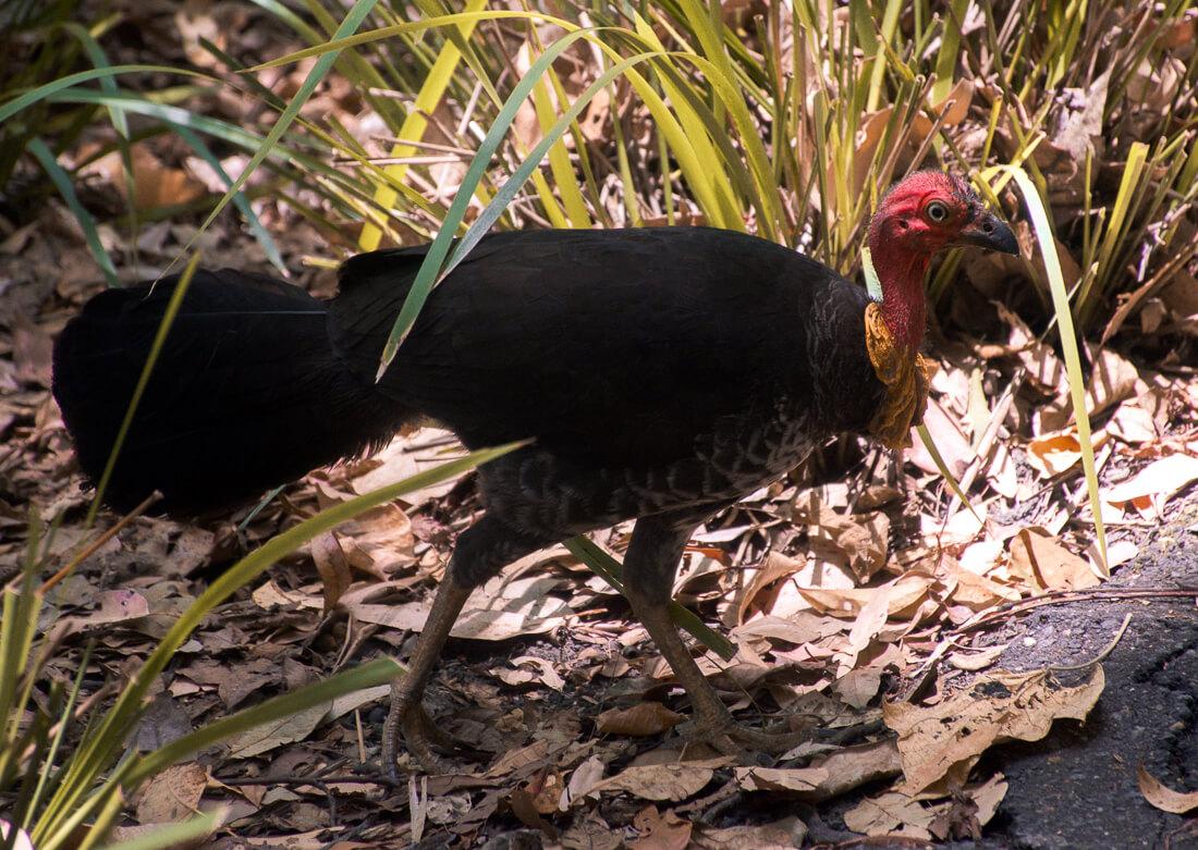 An adult Brush Turkey walking through the Daintree Rainforest