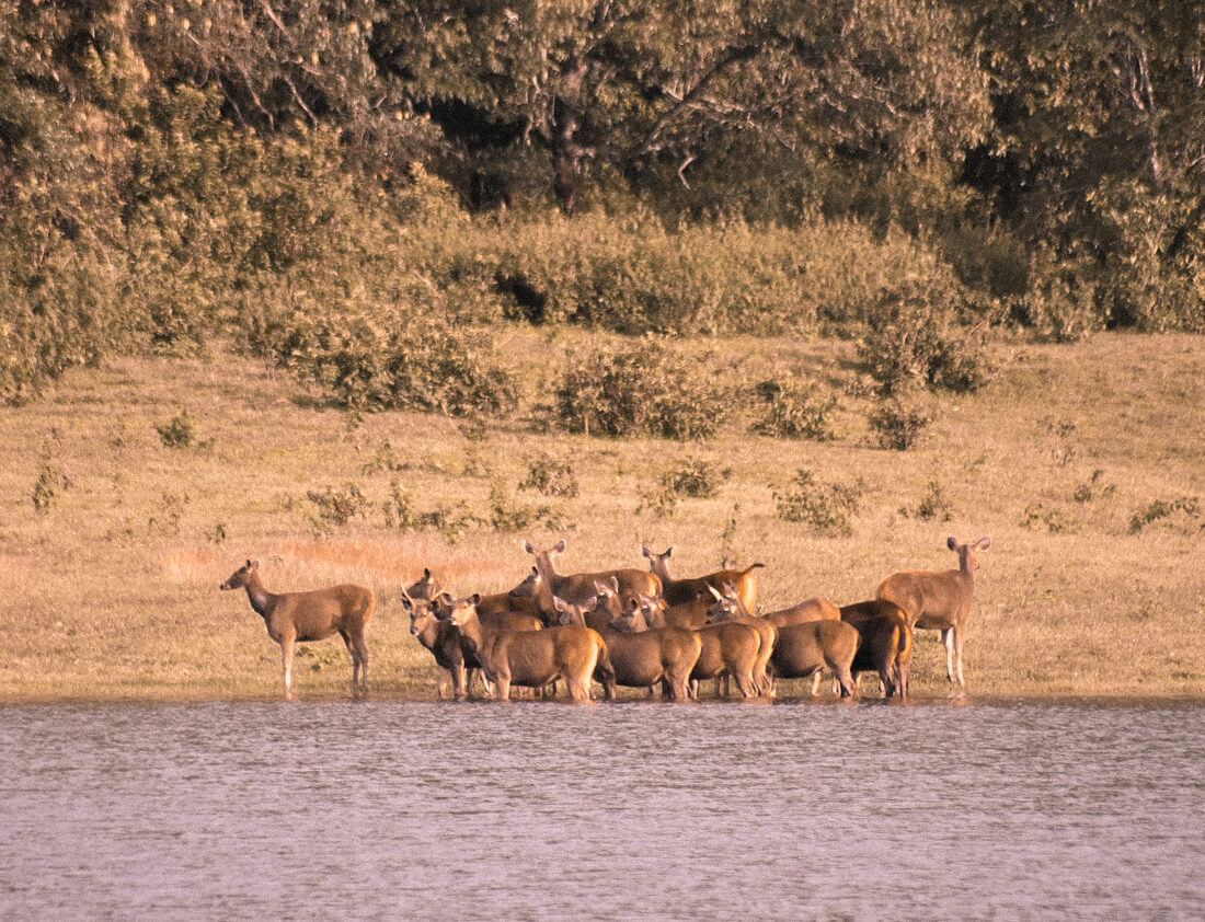 A herd of deer in the water of Periyar National Park