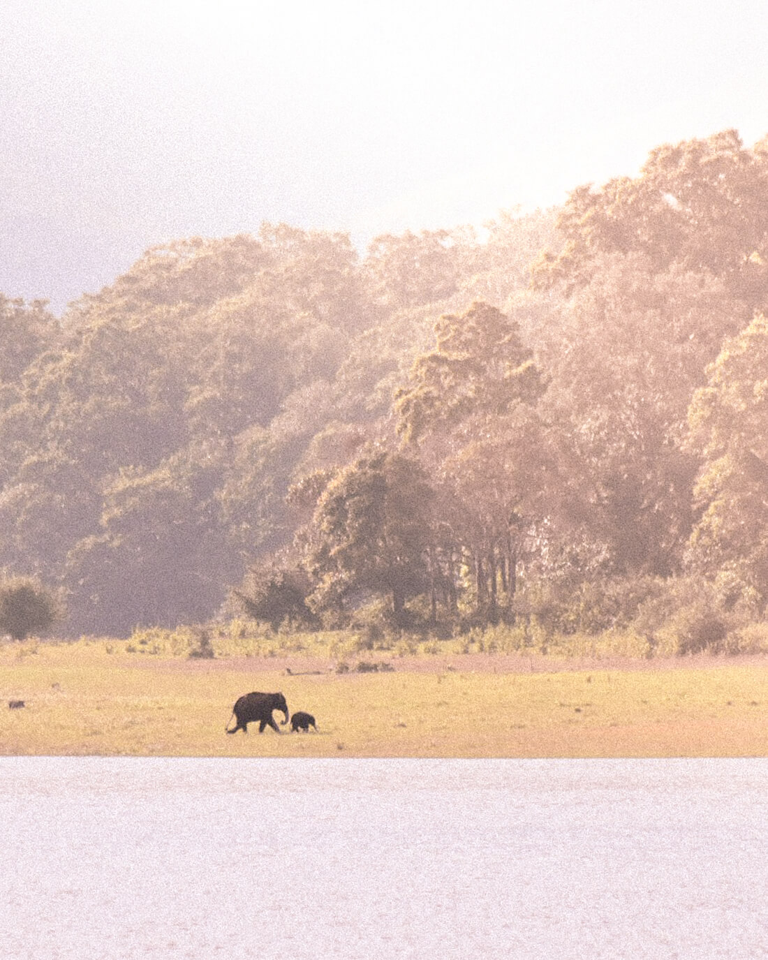 Mother and baby Indian elephants walking in Periyar National Park