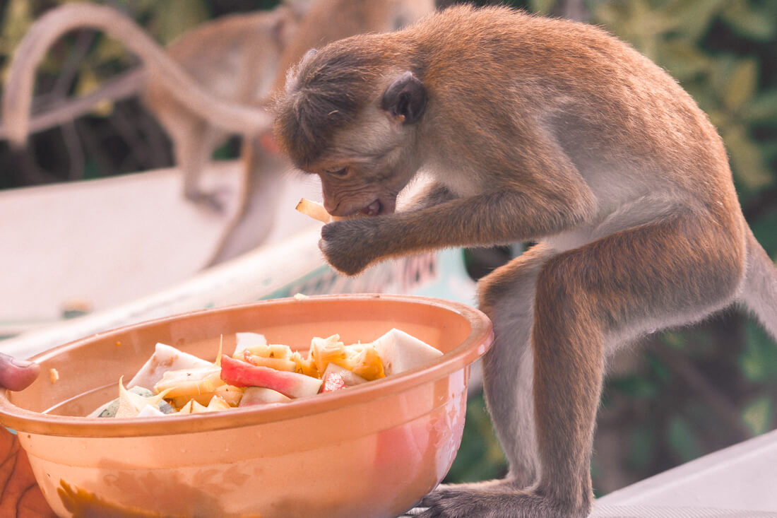 Toque Monkey eating fruit out of a big orange bowl