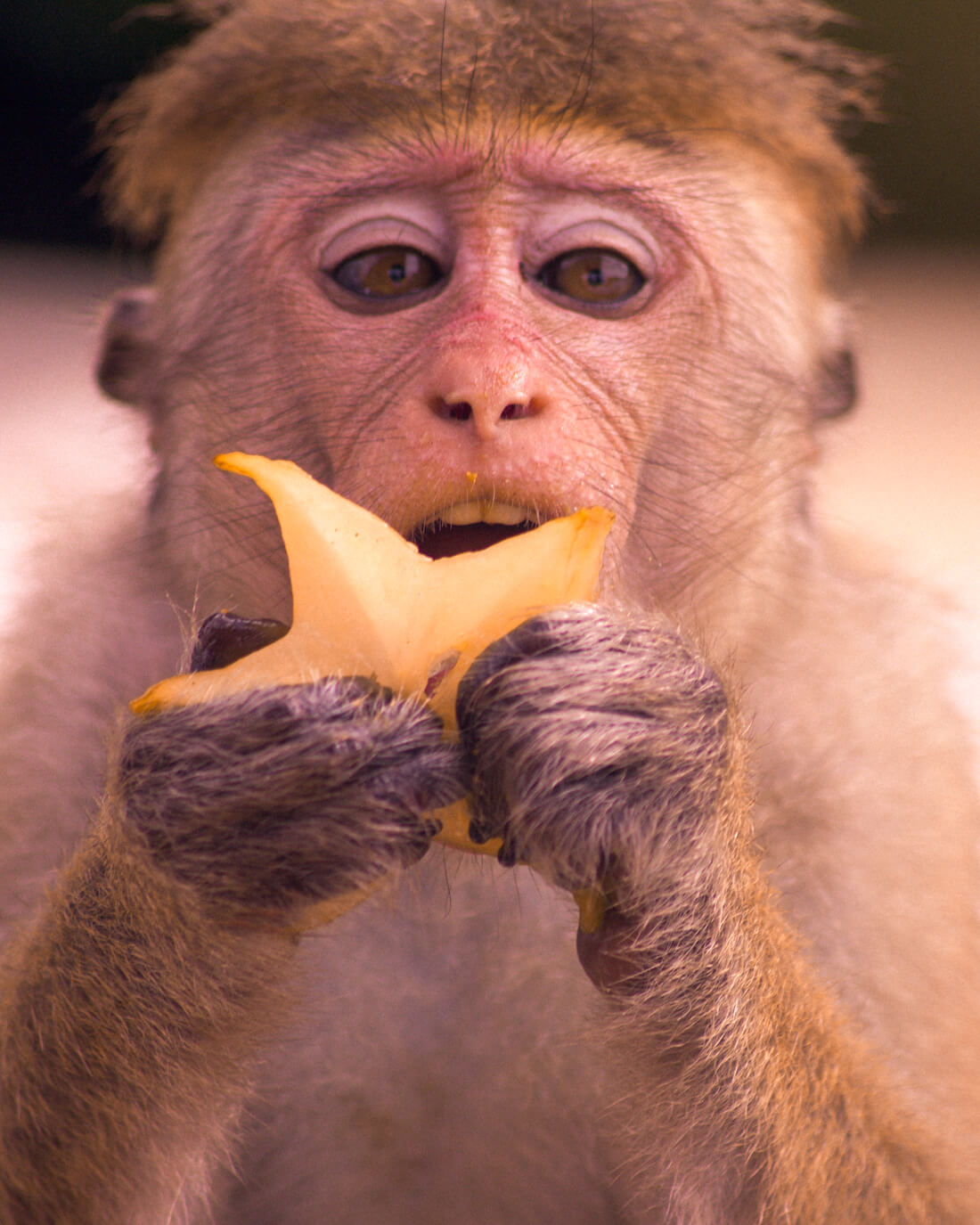 Close up shot of a Toque Macaque eating star fruit on Monkey Island in Negombo