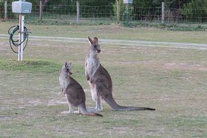 kangaroo duel patrol