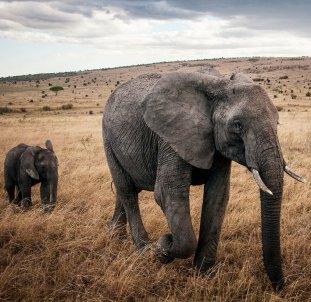 elephants_r