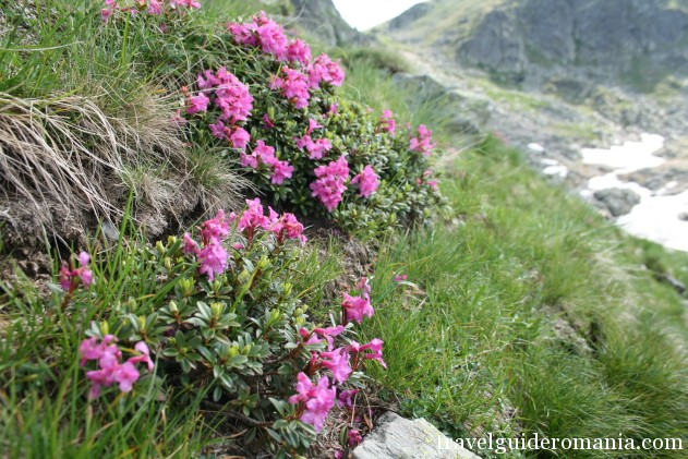 Rhododendron flower in Fagaras mountains - protected plants