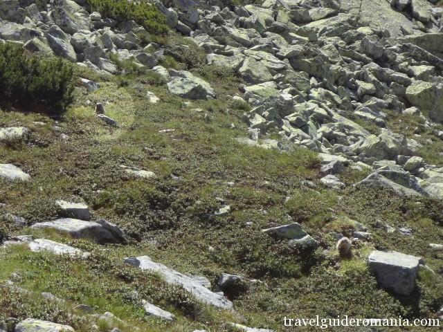 marmots in Retezat mountains