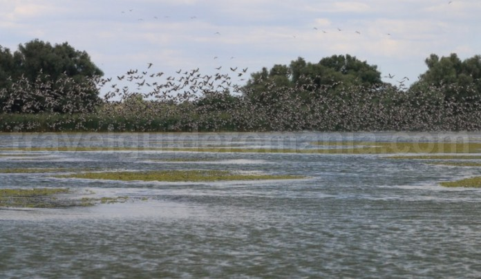 colonie-de-rate-salbatice-pe-lacul-nebunu-delta-dunarii