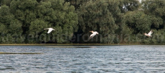 pelicani-si-lebede-in-Rezervatia Bioferei Delta-Dunarii-atractii-turistice