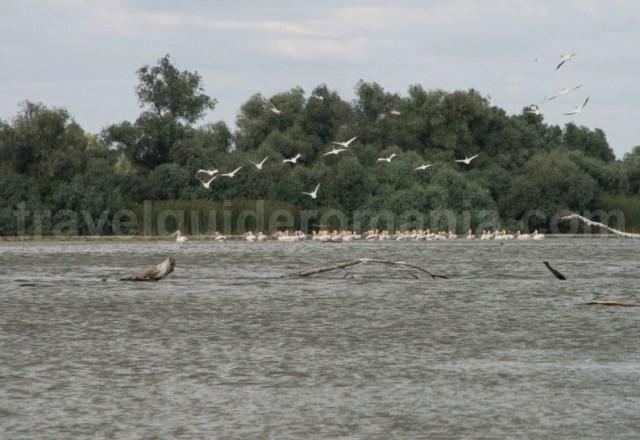 pelicanii-din-delta-dunarii-pelecanus-onocrotalus