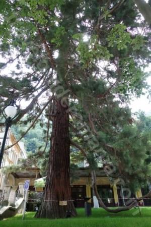Arborele de sequoia din Baile Herculane