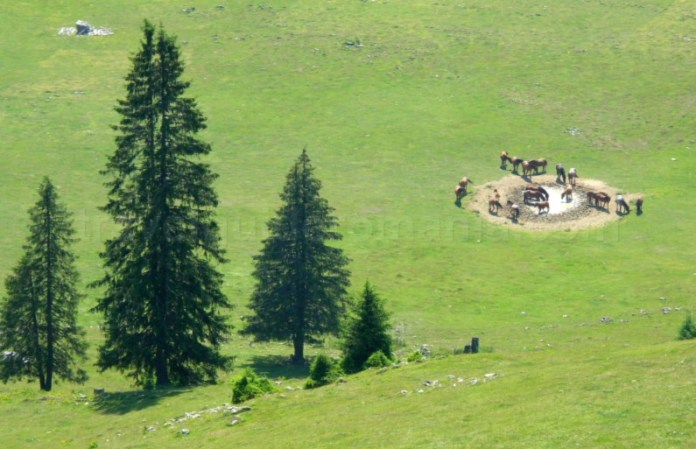 Munții Apuseni - calineasa