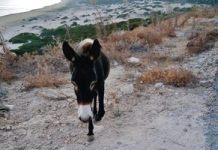 Los burros del Parque Nacional de Dipkarpaz, Chipre