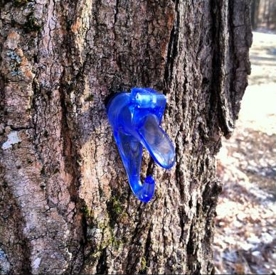 Maple Sap Season in Vermont