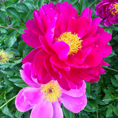 Peonies at Hilden - Things to Do in Vermont