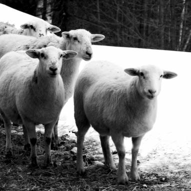 Sheep - Vermont Realtor