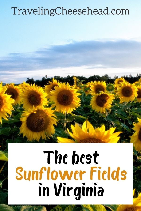 The Best Sunflower Fields in Virginia