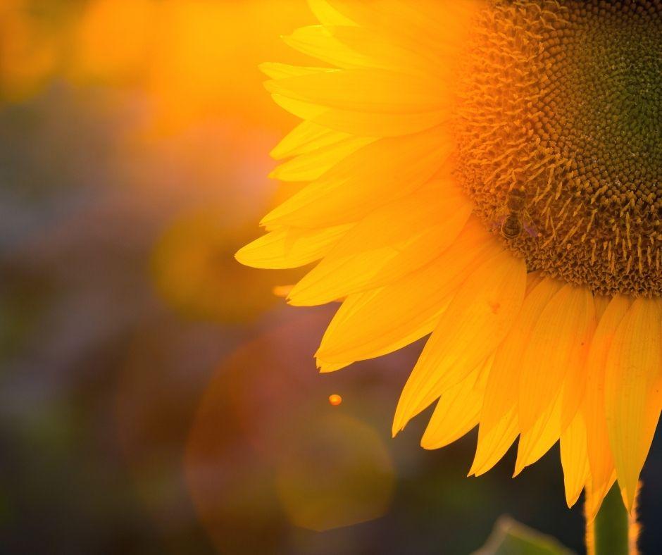 The Best Sunflower Fields in Wisconsin