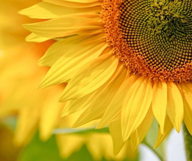 Sunflower Fields in East Virginia