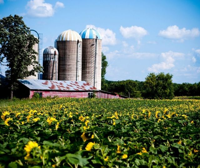 Sunflower Fields In Madison County