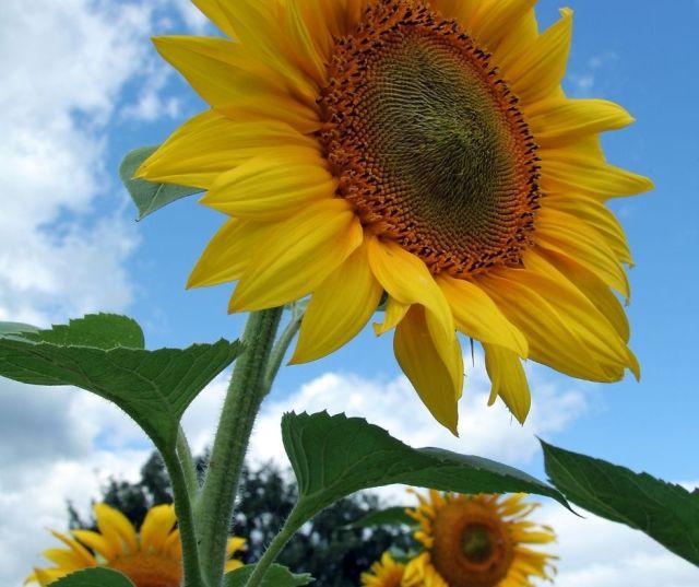 Sunflower Fields in Cleveland Ohio