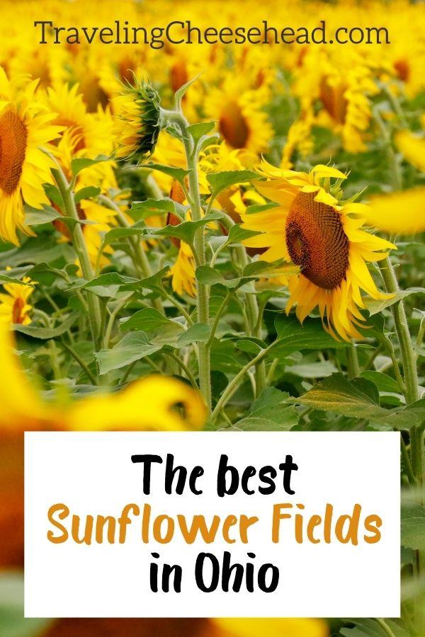 The Best Sunflower Fields in Ohio