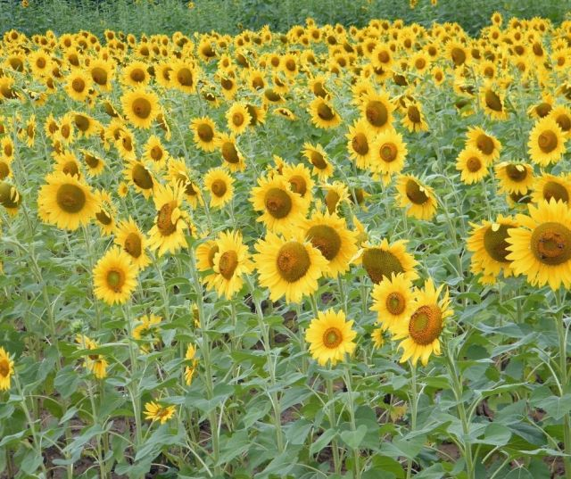 Sunflower Fields in Central Ohio