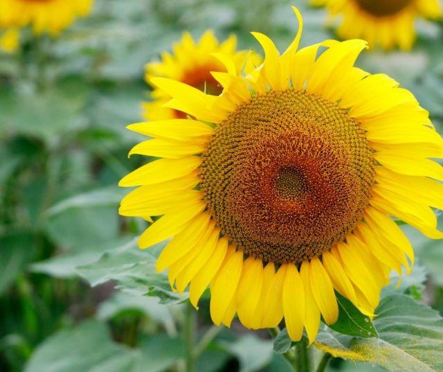 Sunflower Fields in Pemberville Ohio