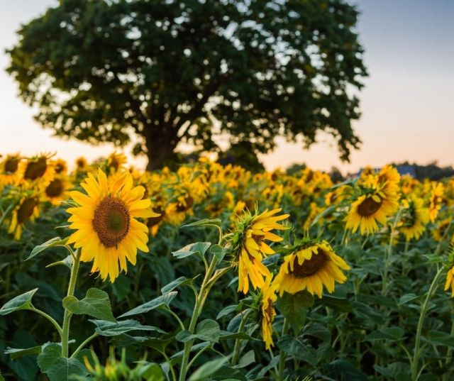 sun flower fields in door county